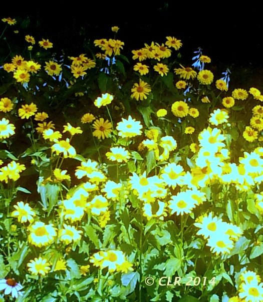 daisy clr 2014