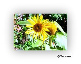 copy-sunflower-logo1.jpg