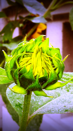 cropped-sunflower-bud-282-x-448.png