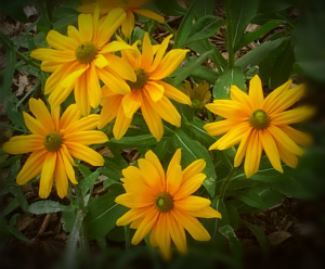 Yellow flowers (Troiku/Haiga)