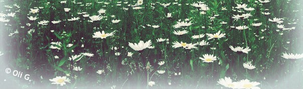 cropped-gaspe-daisies-by-olivier-gagnon2.jpg