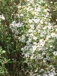 (c) Clr'15 September blossoms