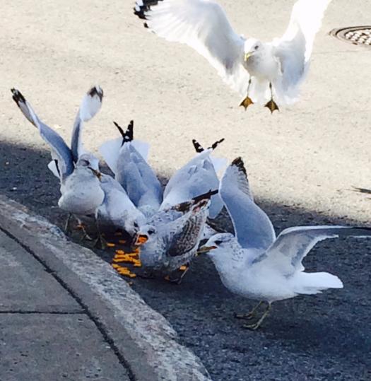 © Clr '15 Gorging Seagulls