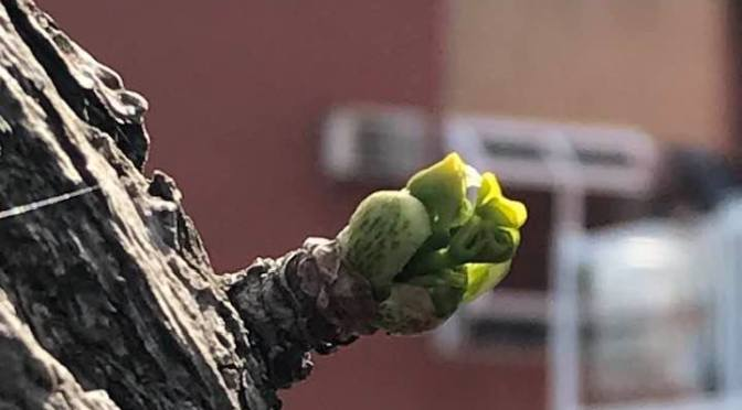 Day 62 – budding promise ~May 15 2020 (haibun)